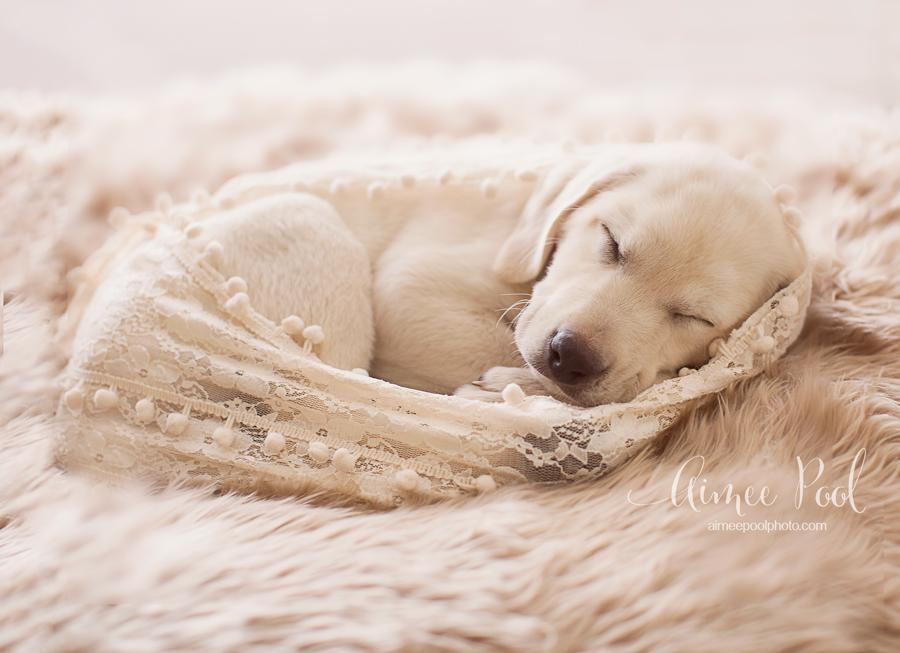 Golden Lab Puppy | aimeepoolphoto.com